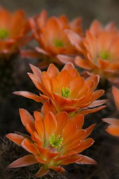 ✯ Hedgehog Cactus Flowers