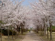 Cherry blossoms at Postech, South Korea