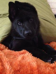 Black Widow Baby AKA...Gemma Black German Shepherd - 11 weeks