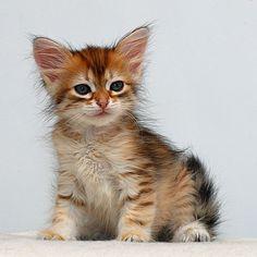 Siberian Kittens - Google Search