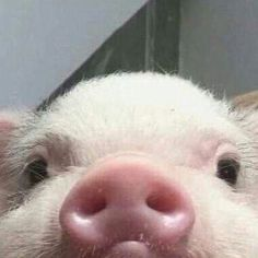 Cute Baby Pigs, Cute Piglets, Baby Animals Super Cute, Cute Little Animals, Cute Funny Animals, Cute Babies, Baby Farm Animals, Baby Cats, Fluffy Cows