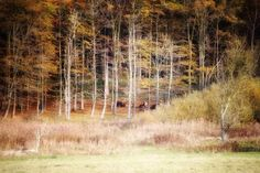 """Skovkøer"" i skovene ved Hagenskov Gods  #visitfyn #fyn #nature #visitdenmark #naturelovers #natur #denmark #danmark #dänemark #landscape #nofilter #assens #mitassens #vildmedfyn #fynerfin #assensnatur #vielskernaturen #tree #visitassens #forrest #instapic #picoftheday #november #forrest #skov #ko #cow"