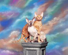 Cornish Rex Cats