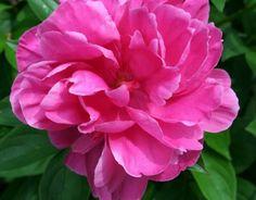 peony blossom petals