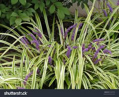 Variegated ribbon grass phalaris arundinacea 39 picta 39 at for Variegated grass with purple flower