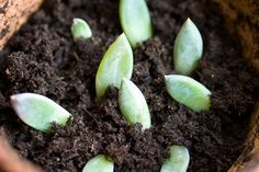 how to propogate from succulent leaves.