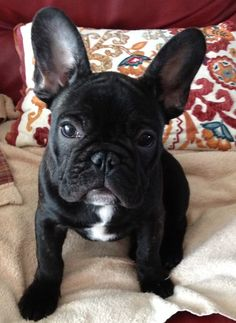 """This is Mabel. She totally """"Makes Me Smile."""" French Bulldog Puppy"""