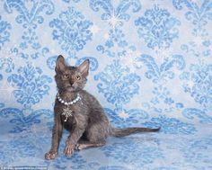 Striking a pose: The photographer, a champion of the Lykoi breed, captured the cats posing in front of Christmas-themed backdrops