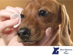 https://flic.kr/p/PasmHU | Ojos inflamados o irritados. CLÍNICA VETERINARIA DEL BOSQUE 3 | Ojos inflamados o irritados. CLÍNICA VETERINARIA DEL BOSQUE. Si observas que los ojos de tu mascota están inflamados o irritados, lo mejor será traerlo a la Clínica para saber mediante una revisión, la causa de la irritación y aplicar un tratamiento adecuado para solucionar el problema. Para nosotros recetar medicamentos oftálmicos vía telefónica es irresponsable. En Clínica Veterinaria del Bosque te…