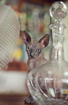 Sphynx kitten. LOVE LOVE LOVE