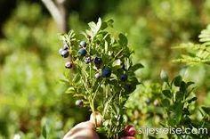 Afbeeldingsresultaat voor blåbær