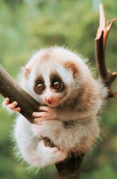 Look up slow loris eats a rice ball on youtube! totally worth the watch! I need one!