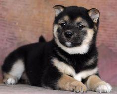 #Shiba Inu puppy - Visit www.e-dogsite.com for more pics.