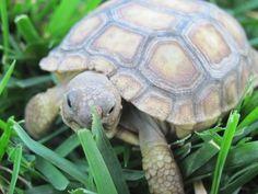 Outdoor Habitat for Tortoise   California Desert Tortoise