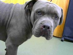 Rescued ✨❤️DEVORE,CA. EUTH LIST. 01/04/18. Turner ID#687702. 2 yr. old male Pit Bull Terrier. Rescue only. Behavior (growled at staff). Arrived 12/28/17.