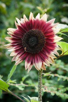 Black Rose Flower, My Flower, Flower Power, Sunflower Tattoos, Sunflower Tattoo Design, July Flowers, September Flowers, Ornamental Cabbage, Sunflower Pictures