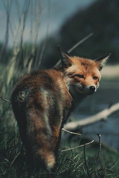 """Red Fox @kpunkka 