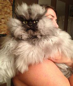 Miles de fans en Facebook registra Meow Coronel, el gato mas furioso del mundo, que con su expresión amargada ha causado sensación en las redes sociales.