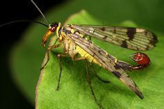 scorpion fly 2009 by ~macrojunkie on deviantART  scoprion flies don't sting. only males have the scorpion-looking tales, which is actually a mating device.