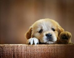 ▼・ꄃ・▼ golden retreiver puppy