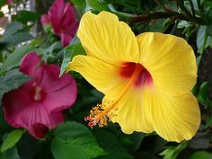"""~~ Yellow """"Hibiscus rosa-sinensis"""" and red """"Hibiscus moscheutos"""" ~~"""