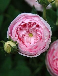 ~Hybrid China Rose: Rosa 'Duchesse de Montebello' (France, 1824)