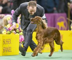 Irish Setter .. one of my favorite breeds.  Had one for 16yrs.