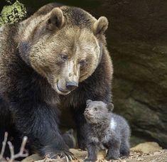 Grizzly y cachorro
