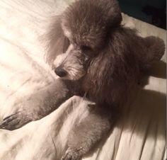 #Poodle #lindaandwinks Dr Grey, Poodle Cuts, Standard Poodles, Rescue Dogs, Yorkie, Puppy Love, Best Dogs, Fur Babies, Heaven