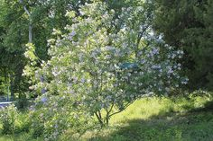 Height and width to Zone Full sun. Pale lavender flowers with pale yellow throats in summer. Drought Tolerant Garden, Cascade Mountains, Plantation, Small Trees, Lavender Flowers, North West, Trees To Plant, Botanical Gardens, Garden Plants