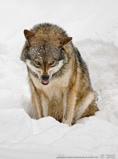 As I was just informed by @Rememberthedeer this is what I would look like if I were a wolf.
