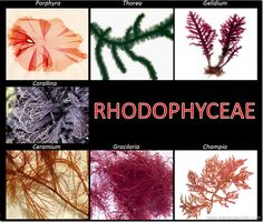 Example of Rhodophyceae