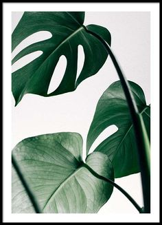 Monstera three Poster in the group Prints / Bestsellers at Desenio AB (8722)