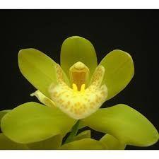 Resultado de imagen para Kiwi Green Cymbidium Orchid