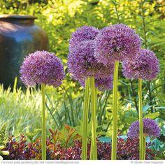 Alliums | Garden Gate eNotes