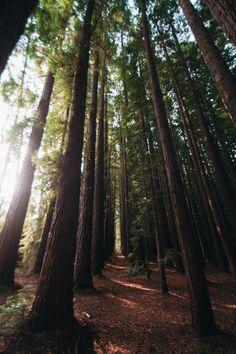 hullocolin: East Warburton Redwood Forest Australia Tumblr |...