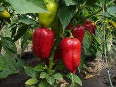 Red Fruit, Fruit And Veg, Summer House Garden, Home And Garden, Seed Packaging, Vegetable Garden Design, Weed Control, Stuffed Sweet Peppers, Farm Gardens