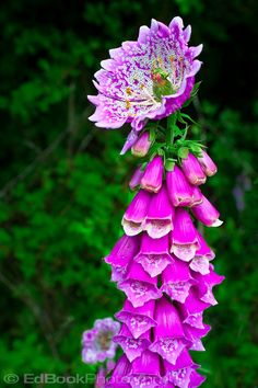 "Love me some flower anomalies! Foxglove (Digitalis purpurea) anomaly peloric monstrous terminal flower mutation caused by a double recessive gene at a locus called ""centroradialis"". Photo by Ed Book."
