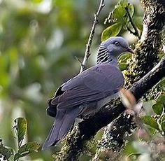 La paloma del Nilgiris3 (Columba elphinstonii) es una gran paloma que se encuentra en los bosques húmedos de hoja caduca y sholas de los Ghats occidentales en el suroeste de la India. Ellos son principalmente frugívoros y forraje en el dosel de los bosques densos de las colinas.