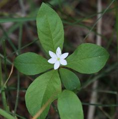 Wintergreen (Chickweed) - Wild Flower Finder