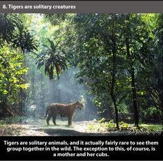 21 Facts About Tigers That Show Their True Colors – The Awesome Daily - Your daily dose of awesome