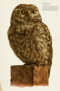 Little Owl, Birds of field and forest, E. Demartini, 1955