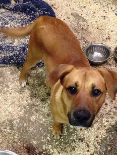 URGENT- TOBIAS IS AN ADORABLE 2 YR OLD LAB MIX MIX- HE IS IN A PACKED RURAL GASSING SHELTER IN WEST VIRGINIA. CONTACT ME TO LEARN MORE ABOUT ALL THE DOGS/ PUPPES AND THE ADOPTION PROCESS. THESE HIGHLY ADOPTABLE DOGS DEPEND ON OUT OF STATE ADOPTERS...
