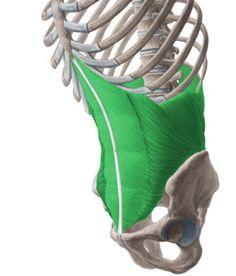 transversus abdominis- a built in corset.