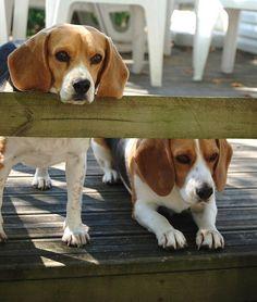 @Erin Albrecht...Beagles:)