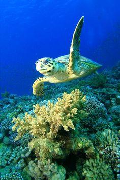 Hawksbill Sea Turtle - CR