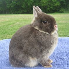 Netherland Dwarf smallest breed, 2 pounds normally. Common show rabbits, fit in show, due to small sizes. Can have temper problems.  Just because they are small, they still need big enough cages.  Come in 24 variety.