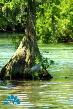 A Blue Heron wades in the Weeki Wachee River next to a cypress tree as the river boat passes by.