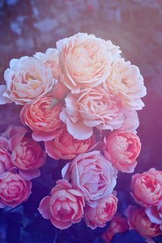 Beautiful Pink Roses iPhone Wallpaper
