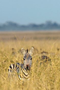 A zebra peers above the grasses of Amboseli National Park. 